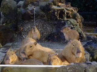 温泉に入るカピパラ