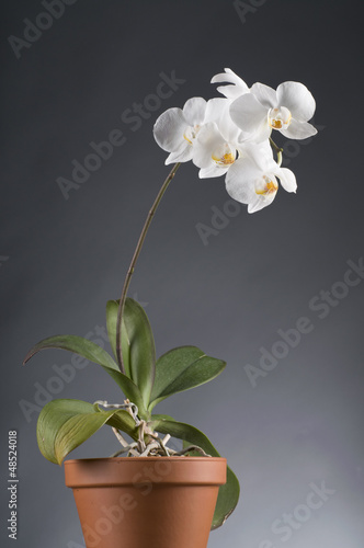 White orchid flower in a pot