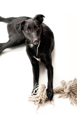 Schwarzer Labrador-Border Collie Mix
