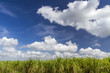 Zuckerrohranbau auf Kuba
