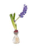 Blue Hyacinth flower in glass vase isolated over white