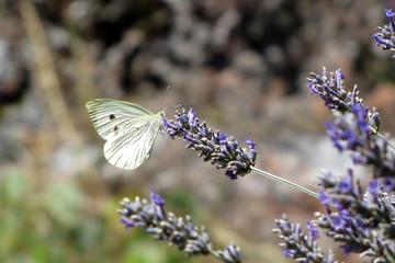 Farfalla bianca su fiore