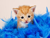 Ginger kitten sitting in blue feathers