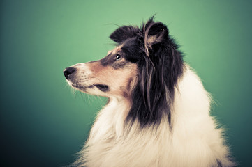 Collie Portrait, getönt