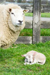 Sheep with just born lamb in spring