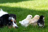 Australian Shepherd Watching Baby Chicks