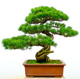 Bonsai pine tree - 48541608