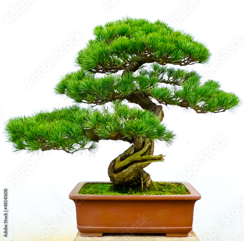 Bonsai pine tree
