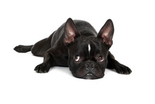 Tired Froston Puppy (Frenchie x Boston Terrier)