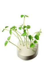 Computer Mouse with Pea Sprouts