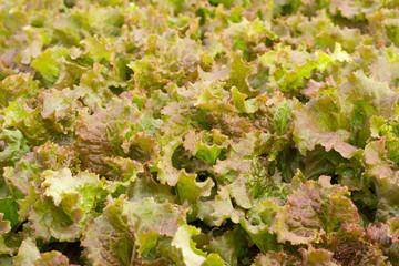 Fresh lettuce salad background