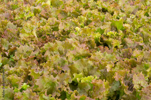 Fresh lettuce salad background
