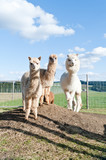 Group of white and brown Alpacas