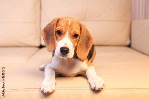Female Beagle puppy on a white leather sofa