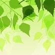 Fresh background of  green birch leaves.