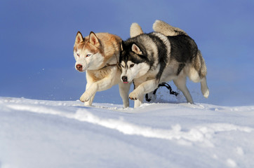 Two husky dogs running in the snow