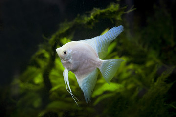 white Angel fish in green aquarium