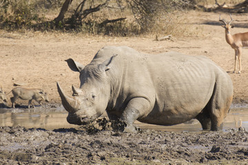 Male White Rhino in mud wallow, South Africa