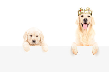 Golden retriever with crown and a baby dog posing on a panel
