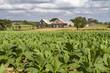 Tabakanbau auf Kuba