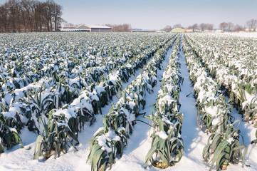 Snowy leek plants in a Dutch field
