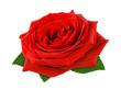 Herrliche Rose auf weiß