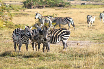 safari in Kenya - zebre