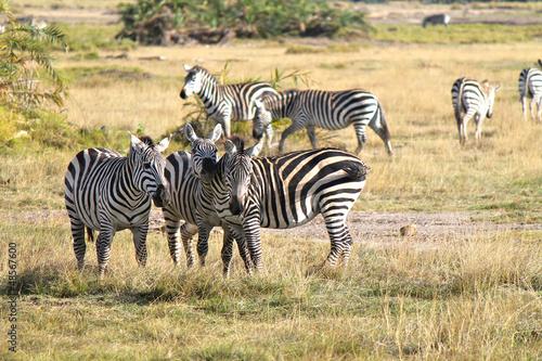 safari in Kenya - zebre