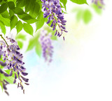 spring season, wisteria flowers green leaves background