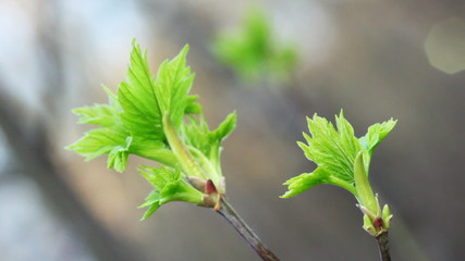 ends of two branches with young green leaves