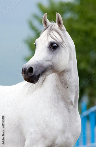 White Arabian horse portrait