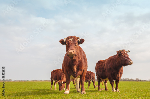 Group of brown Dutch cows in summer