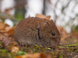 Bank vole sideview