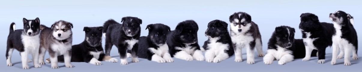elf Schlittenhunde Welpen liegend und stehend