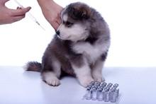 Puppy w szczepienia