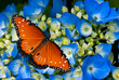Queen butterfly on blue hydrangea flowers - 48581487