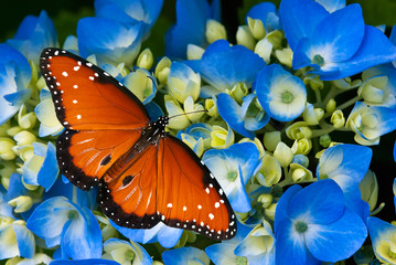 Queen butterfly on blue hydrangea flowers