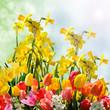 Frühlingserwachen mit Tulpen und Osterglocken
