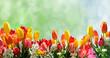 Frühlingserwachen mit Tulpen und Kirschblüten