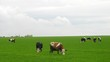Cows are grazed on green meadow and eat grass