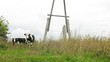Cows go and are grazed near electrical pole