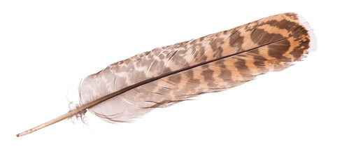 variegated eagle feather on white