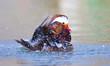 Stupendo maschio di anatra mandarina