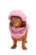 dachshund dog dressed into hat and scarf isolated