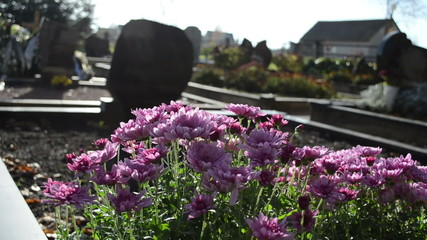 chrysanthemums autumn flowers cemetery grave monuments