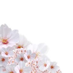 桜斜め配置