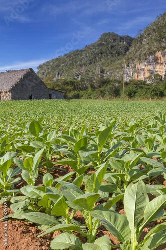 Tabakplantage auf Kuba