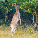 a fallow deer eating from a tree