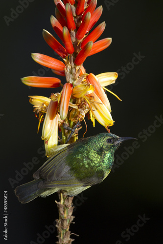 Collared Sunbird on Aloe Flower (Hedydipna collaris)