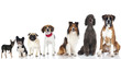 Pedigree dogs - Rassehunde